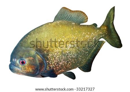 Piranha isolated on white background - stock photo