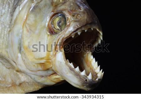 Piranha jaws showing teeth - stock photo