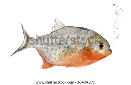 Piranha, Serrasalmus nattereri, in front of white background, studio shot - stock photo