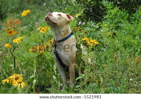 Pit bull - stock photo