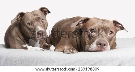 pit bull buddies - stock photo