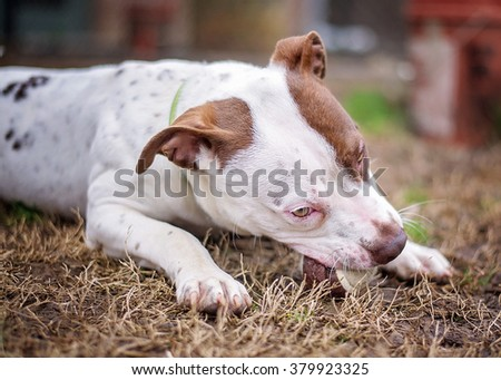 Pit Bull Chewing Tennis Ball
