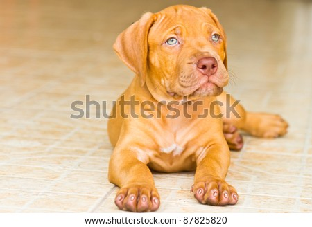 Pit Bull Dog - stock photo