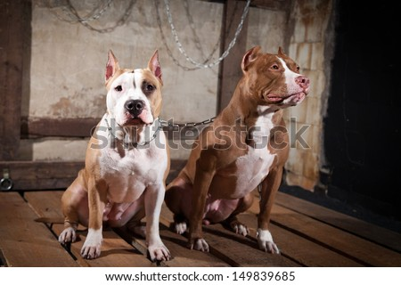 pit bull dog, chain, cave, fire