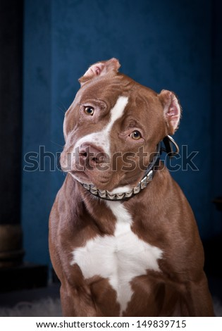 Pit Bull Dog Chain Cave Fire Stock Photo