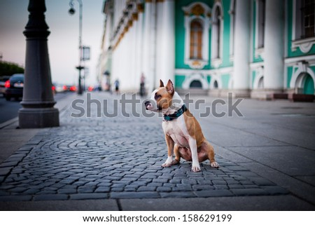 pit bull, dog in town, Petersburg