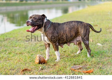 pit bull dog playing on lawn - stock photo