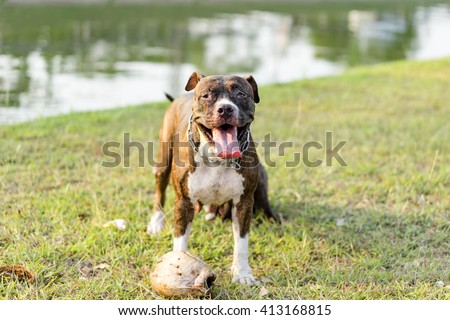 pit bull dog playing on lawn