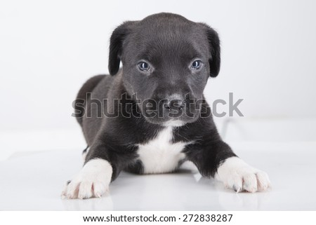 Pit bull dog puppy in black