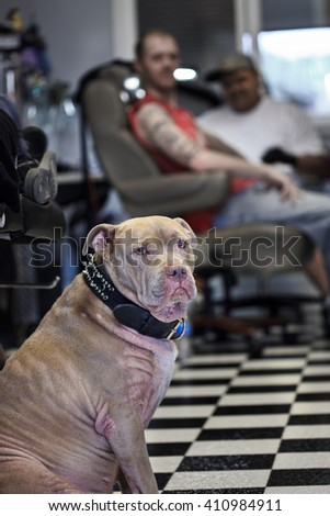 pit bull in a tattoo shop with blurred people in the background getting a tattoo - stock photo