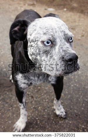 pit bull ( or pitbull ) with pale blue eyes