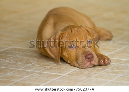 Pit Bull puppy. - stock photo