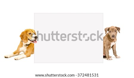 Pit bull puppy and Beagle dog peeking from behind poster isolated on white background - stock photo