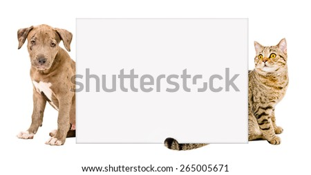 Pit bull puppy and cat Scottish Straight sitting behind a poster isolated on white background - stock photo