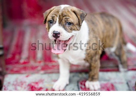 pit bull puppy dog on ground - stock photo