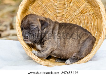 pit bull puppy dog sleeping in basket - stock photo