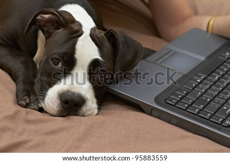 Pit Bull puppy laying at laptop keyboard