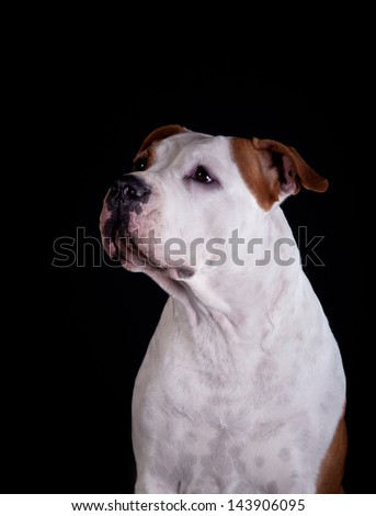 pit bull terrier - stock photo