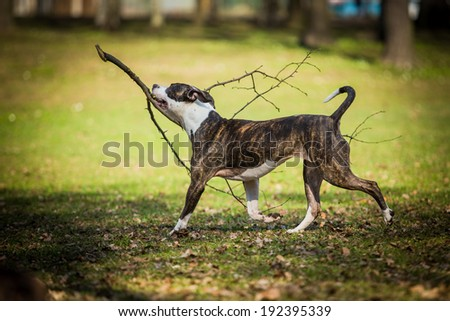 Pit Bull Terrier nature - stock photo