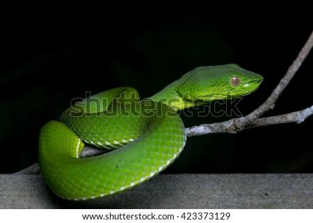 Pit Viper of Borneo , Green pit viper , Snake  - stock photo