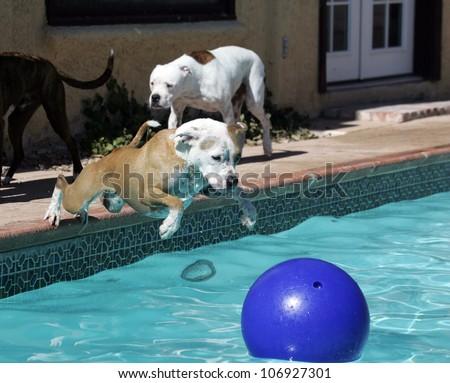 Pitbull dog diving into swimming pool - stock photo