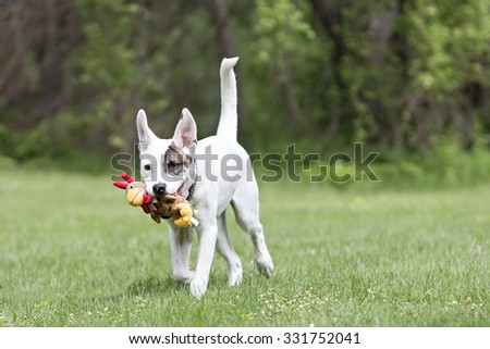 Pitbull dog playing with a toy running outside