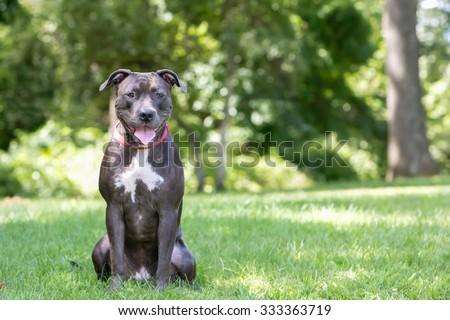 Pitbull dog sitting in the park - stock photo