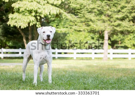 Pitbull dog standing in the park on a path - stock photo