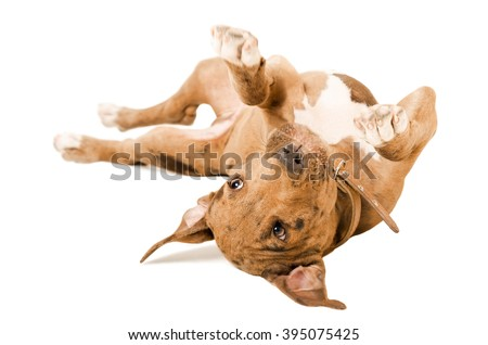 Pitbull puppy lying on his back isolated on white background