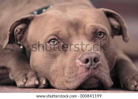 pitbull Red nose  , Amazing Dog - stock photo