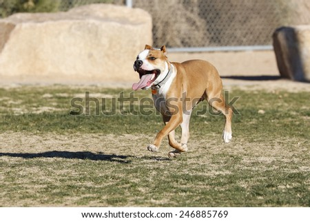 Pitbull running through the dog park playing - stock photo