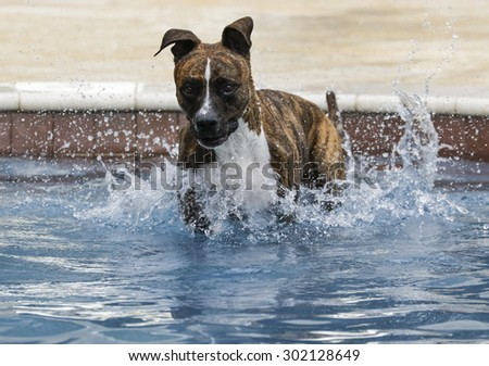 Pitubll just after jumping into the pool - stock photo