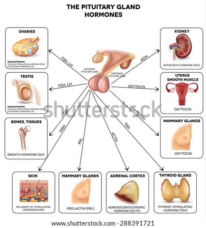Pituitary gland secreted hormones and influenced organs in the body. Beautiful colorful illustration. - stock photo