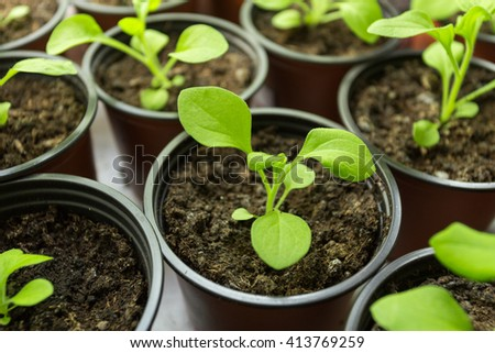 Pitunia seedlings in plastic flower pots from above - stock photo