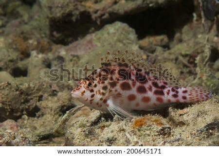Pixie hawkfish (cirrhitichthys oxycephalus) - stock photo