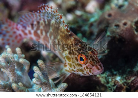 Pixy hawkfish (Cirrhitichthys oxycephalus) are a common small predator on coral reefs throughout the Indo-Pacific and all the way to Panama.  - stock photo