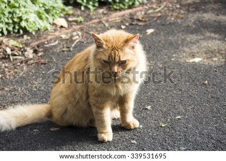 Placid   very large smoochy  red tabby fluffy  cat  with a pink nose  makes a friendly  affectionate pet for any family. - stock photo