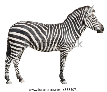 Plain Burchell's Zebra female standing side view on white background