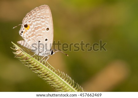 Plain cupid butterfly with flower