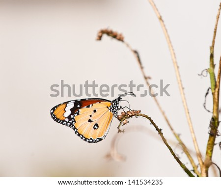 plain tiger butterfly close up