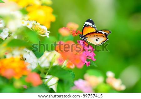 plain tiger butterfly on Lantana camara with garden background - stock photo
