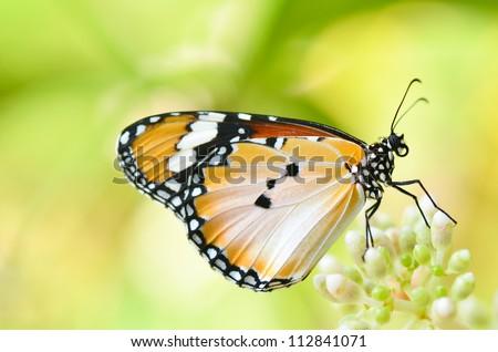 Plain Tiger Butterfly on Medinilla formosana Hayata - stock photo