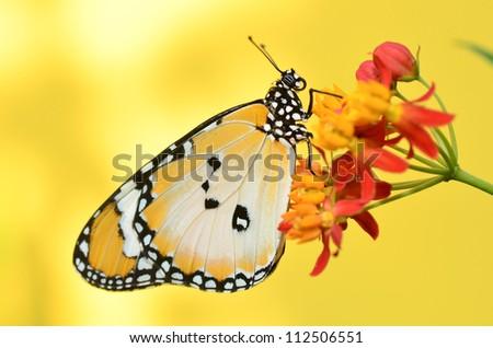 Plain Tiger Butterfly on Milkweed flower - stock photo