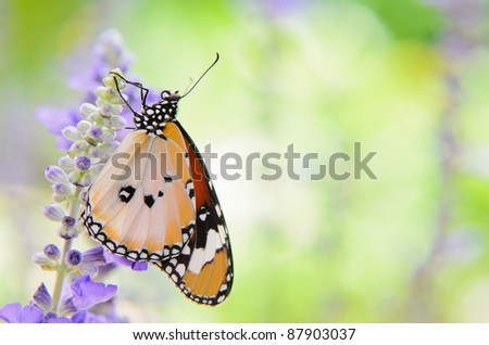 plain tiger butterfly on sage with green garden  background - stock photo