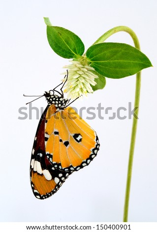 Plain Tiger Butterfly perching on white flower - stock photo