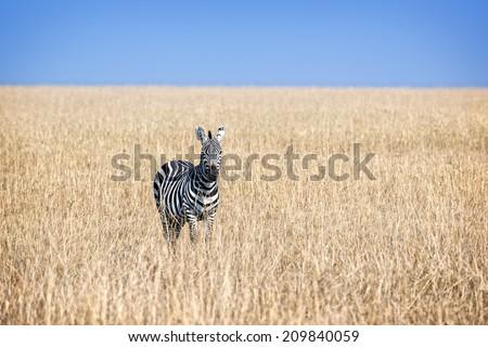 Plain zebra in savanna of Masai Mara National Reserve, Kenya - stock photo