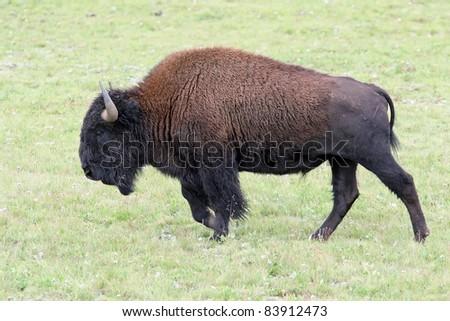 Bison Charging bison  Charging - North