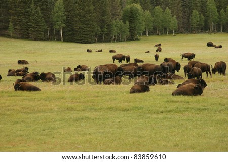 Plains Bison (Bison bison) with Bird Perched on its Back - Waterton Lakes National Park, Alberta