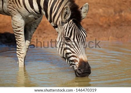 Plains (Burchells) Zebra (Equus quagga) drinking water, Mkuze game reserve, South Africa - stock photo