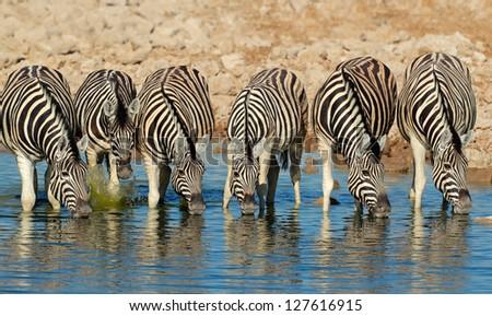 Plains (Burchells) Zebras (Equus burchelli) drinking water, Etosha National Park, Namibia - stock photo